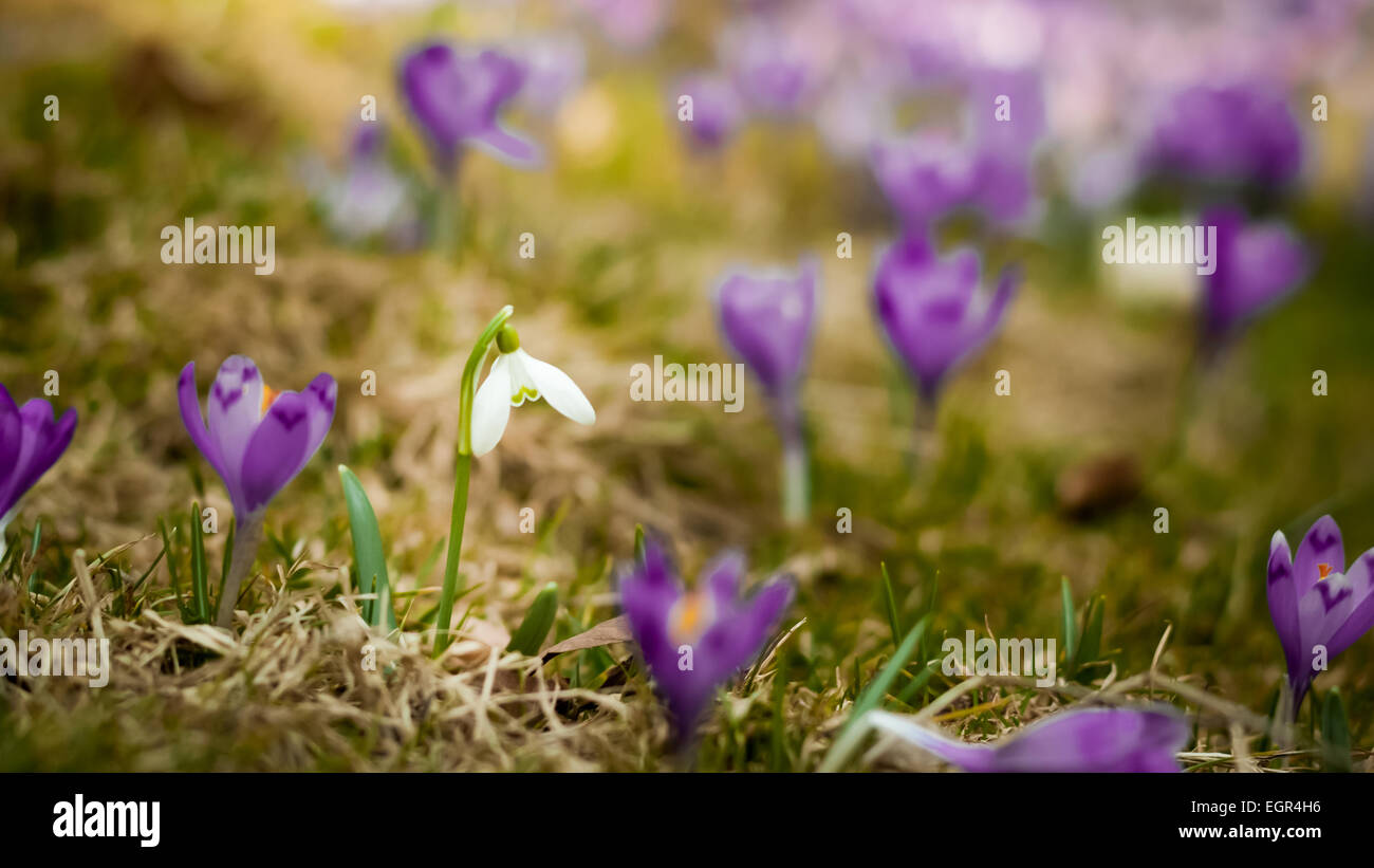 Geliebte Lila Krokus Feld. Blaue Krokusse. Ein Feld ausgefüllt von violett &UO_34
