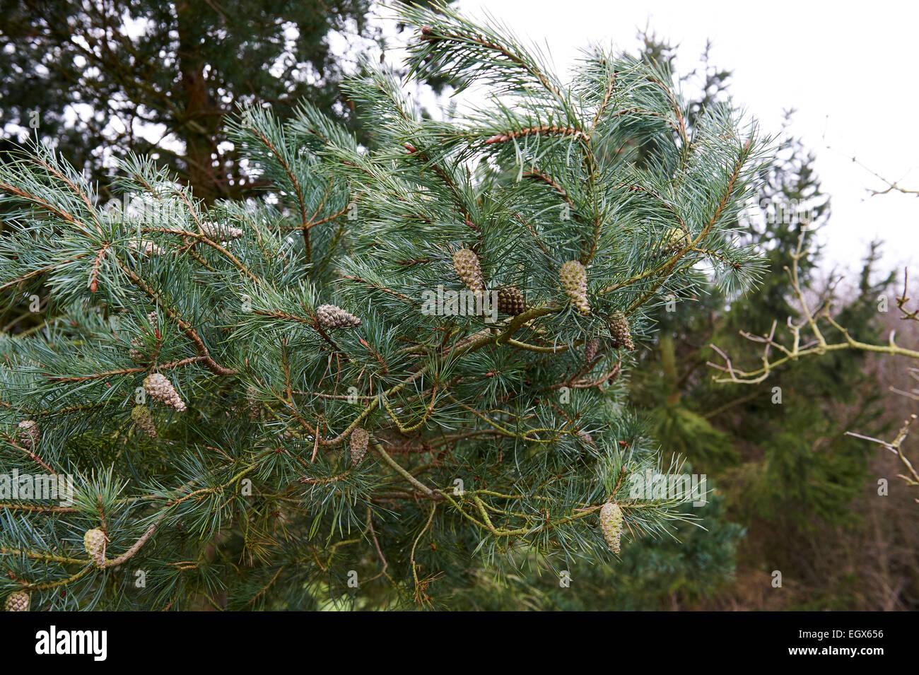 Schottische Pinien, Pinus Sylvestris. Gemeinsamen einheimischer Baum in Schottland und bepflanzten anderswo in Großbritannien. Stockbild