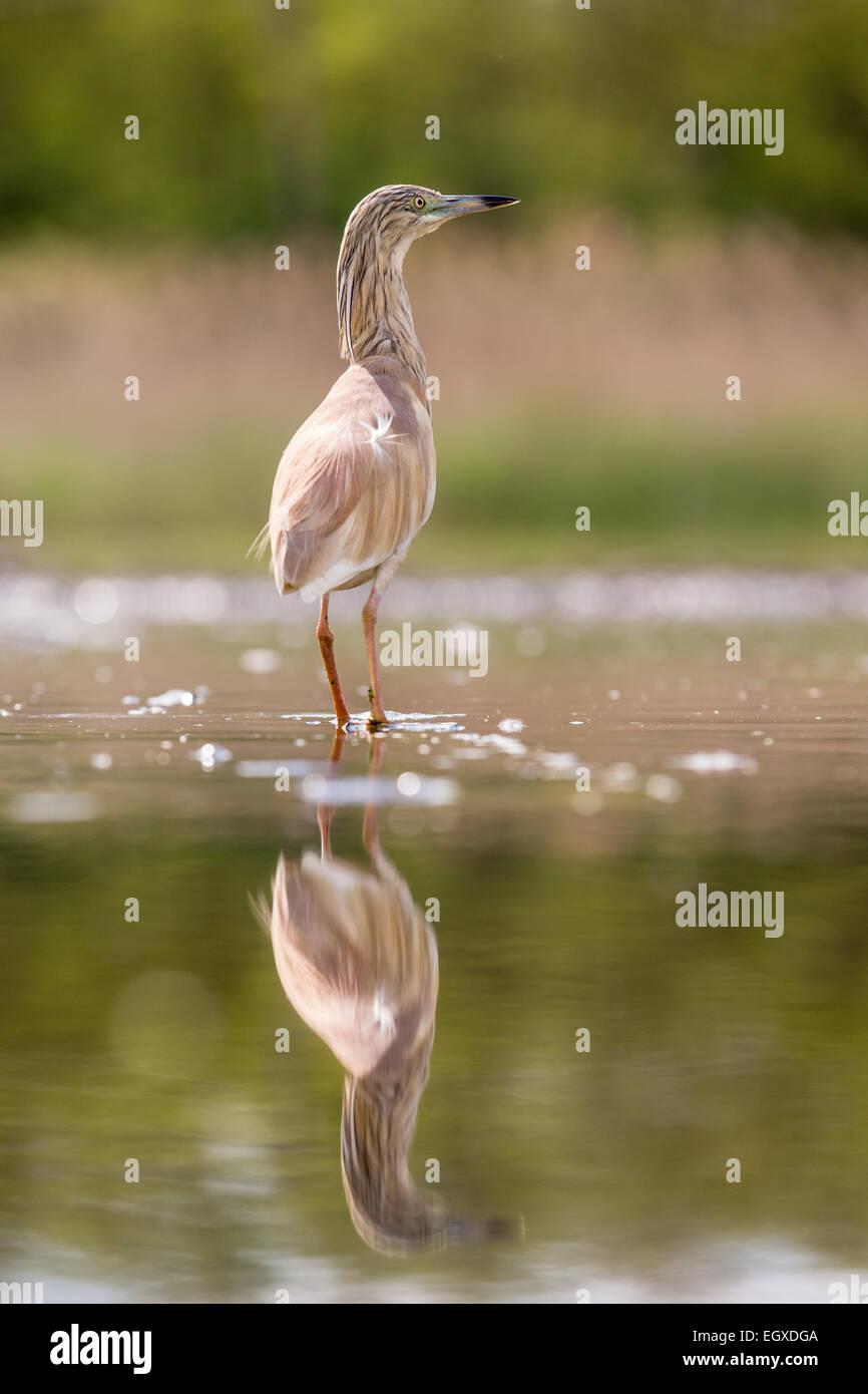 Squacco Heron (Ardeola Ralloides) waten im seichten Wasser Stockfoto