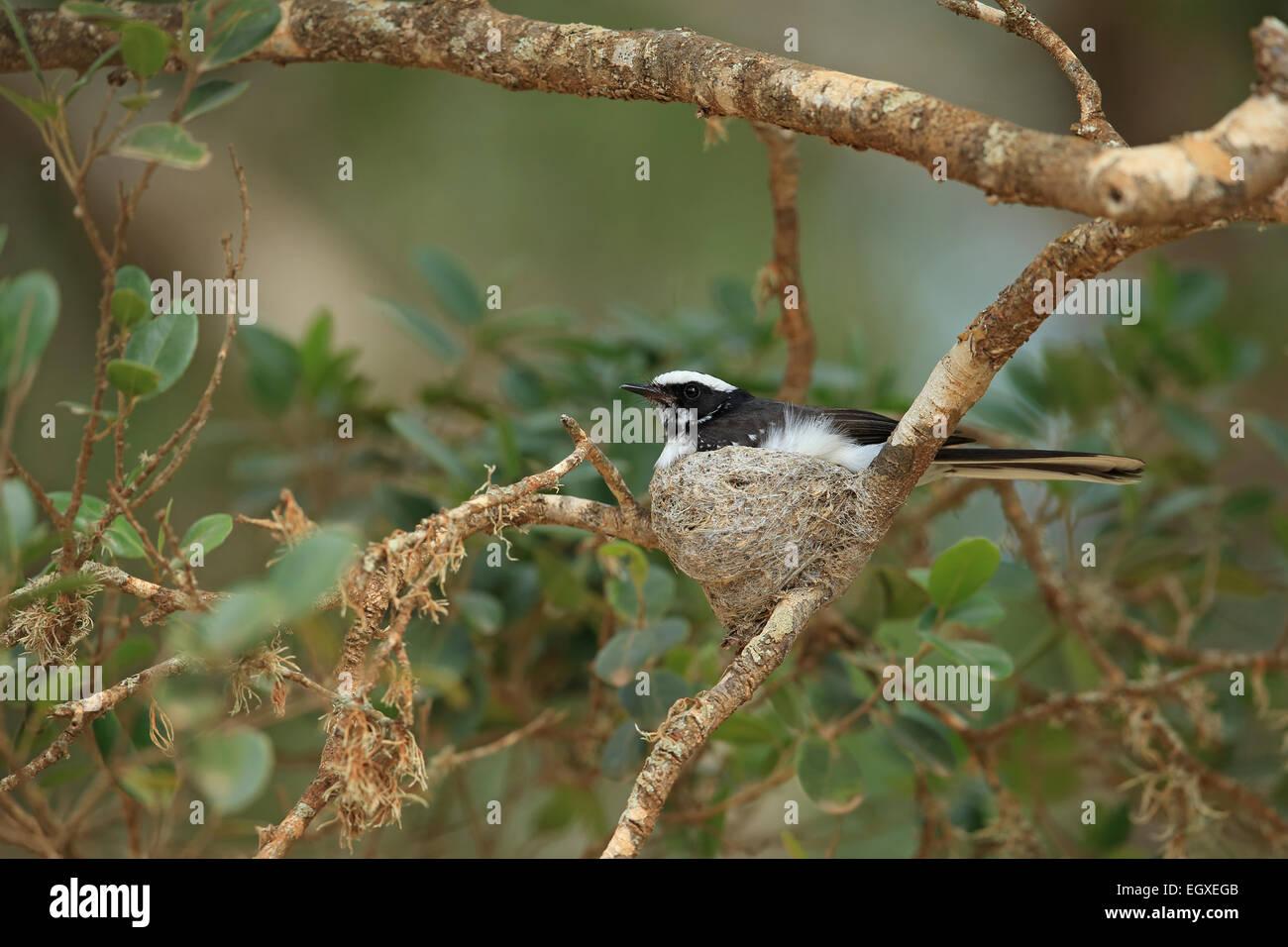 Weißer-browed Fantail (Rhipidura Aureola) Stockbild