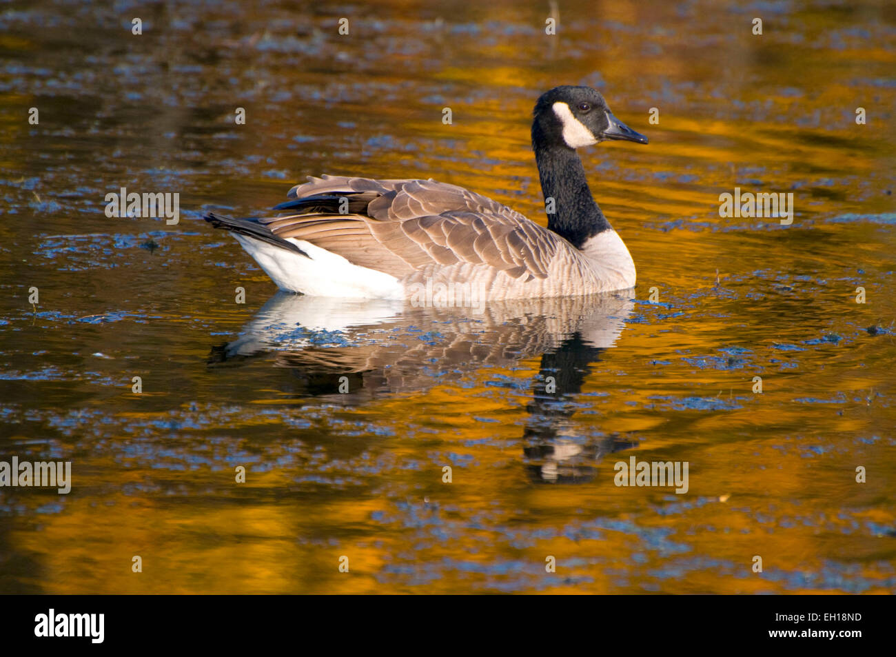 New Forest Canada Goose Stockfotos & New Forest Canada Goose