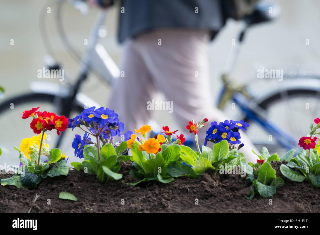 Passau, Deutschland. 3. März 2015. Ein Radfahrer geht vorbei an gepflanzte Primeln entlang der Ufer des Inns Stockbild