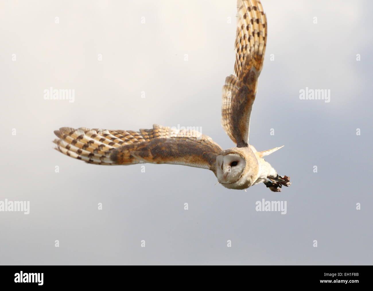 Eurasische Schleiereule (Tyto Alba) im Flug gefangen Vogel während einer Vogel-show Stockbild