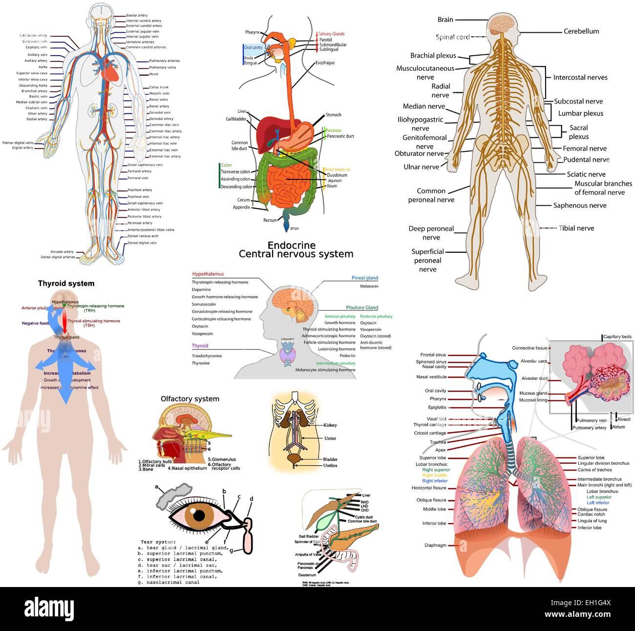 Fein Die Körpersysteme Fotos - Menschliche Anatomie Bilder ...