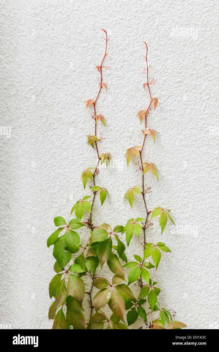 Kletterpflanzen wachsen auf Wand Stockfoto