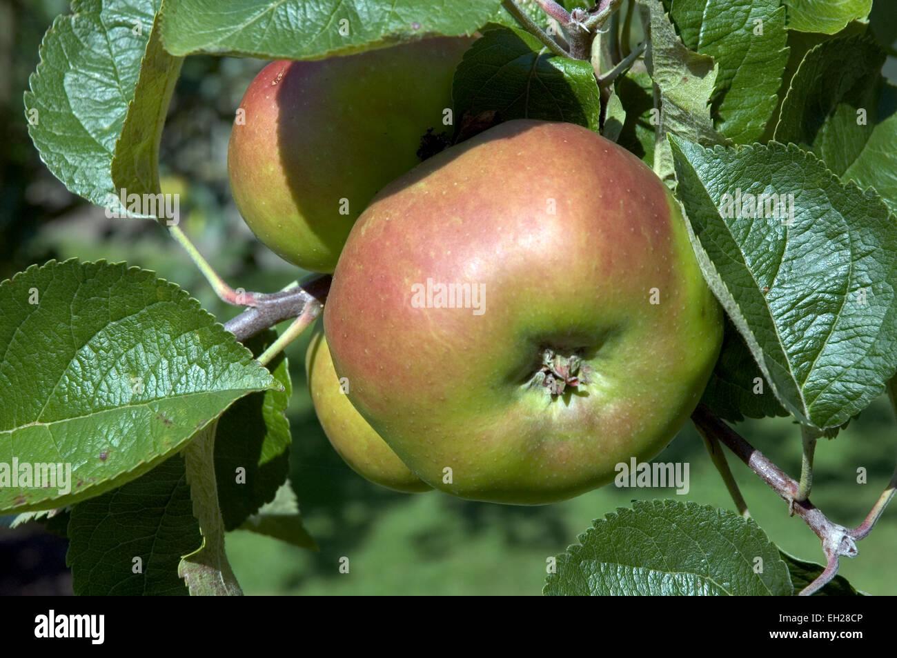 Bramley Apfel auf dem Baum Stockbild