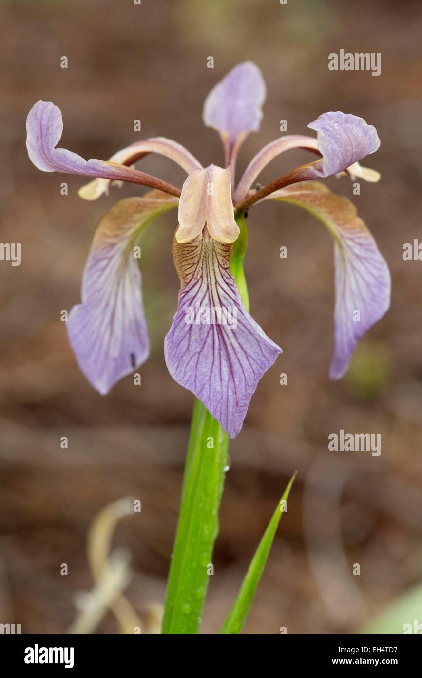 Frankreich, Vendee, Saint Jean de Monts, Foul Iris (Iris Foetidissima) Stockbild