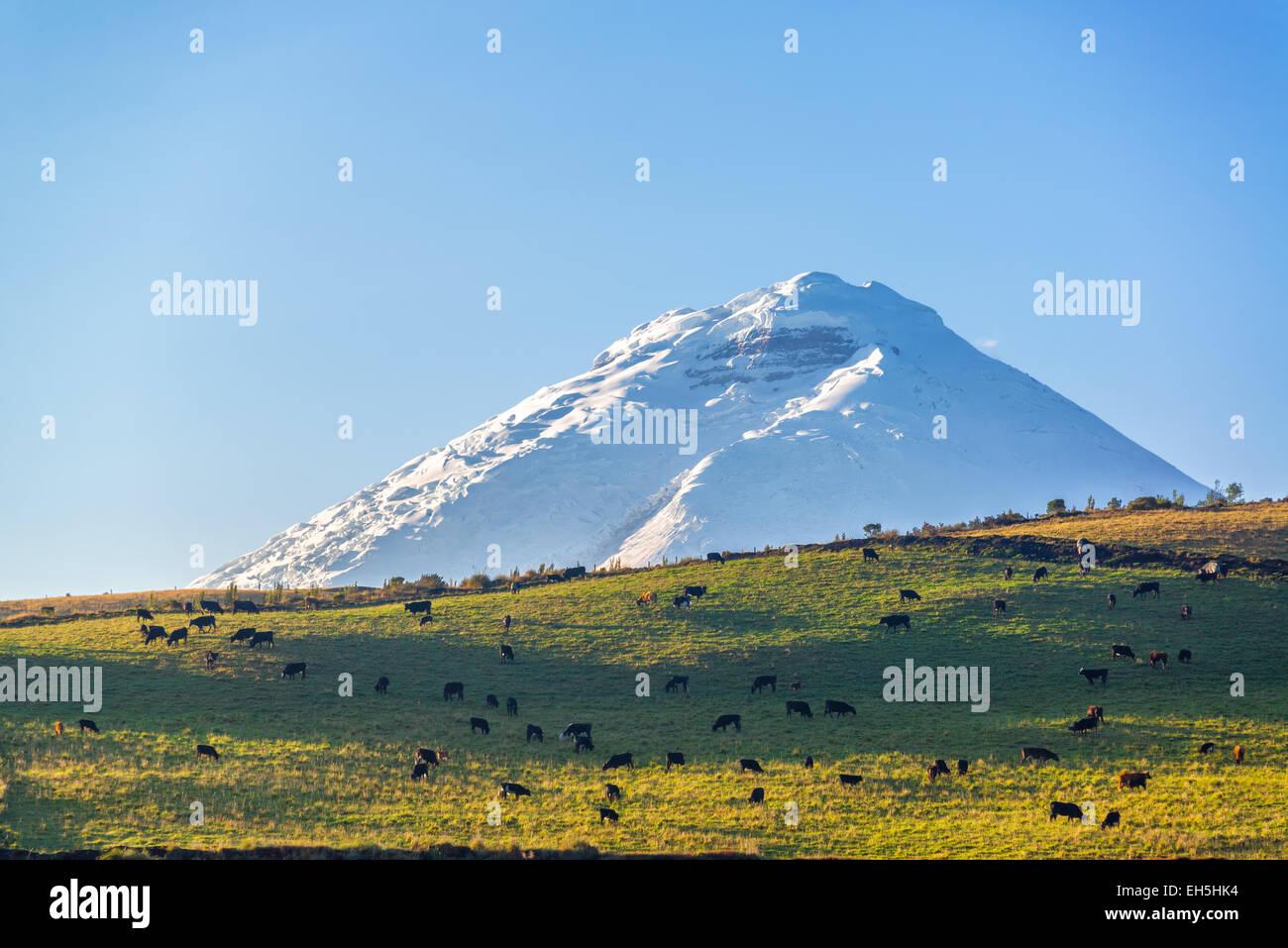 Ansicht von Nutztieren auf einem Hügel mit Cotopaxi Vulkan überragt es in Ecuador Stockbild