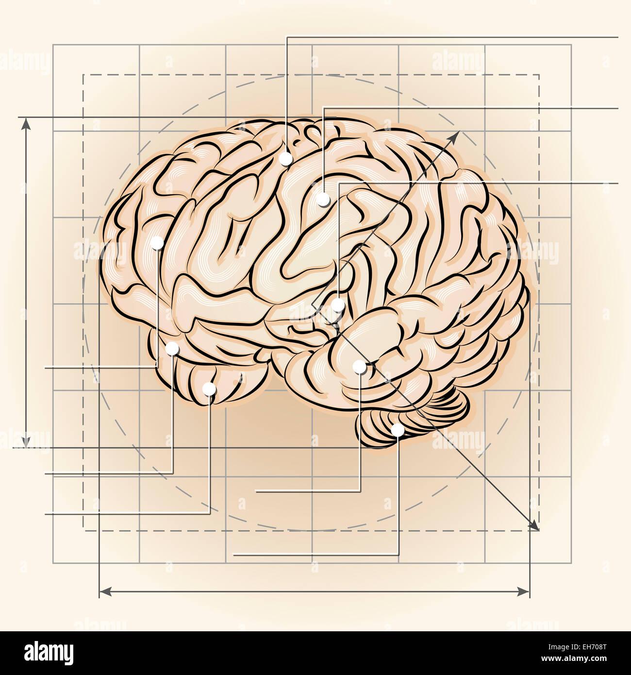 Groß Anatomie Des Gehirns Flash Karten Zeitgenössisch - Anatomie ...