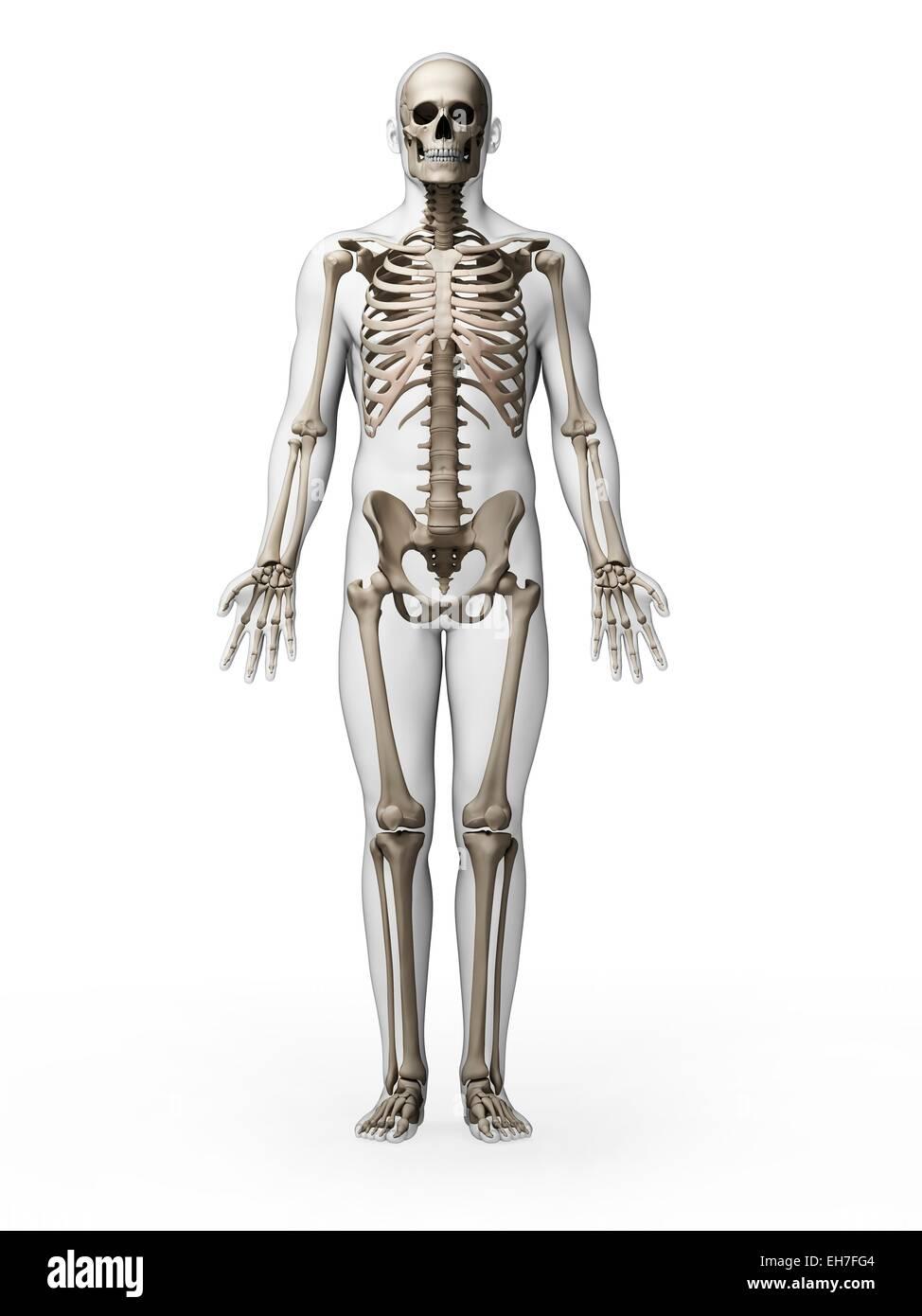 Großzügig Menschliches Skelett System Zeitgenössisch - Menschliche ...