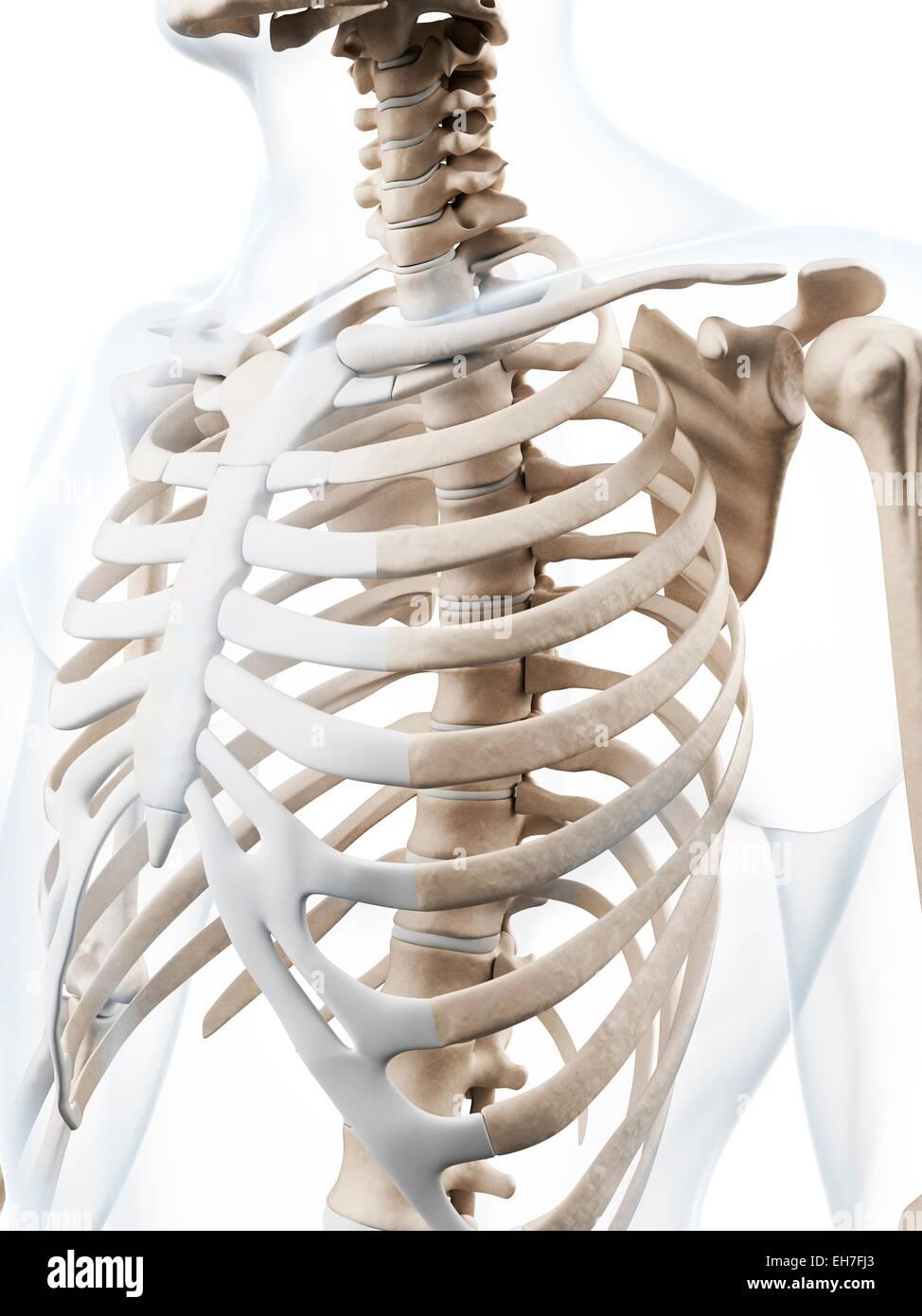 Fantastisch Bilder Von Menschlichem Brustkorb Galerie - Anatomie ...