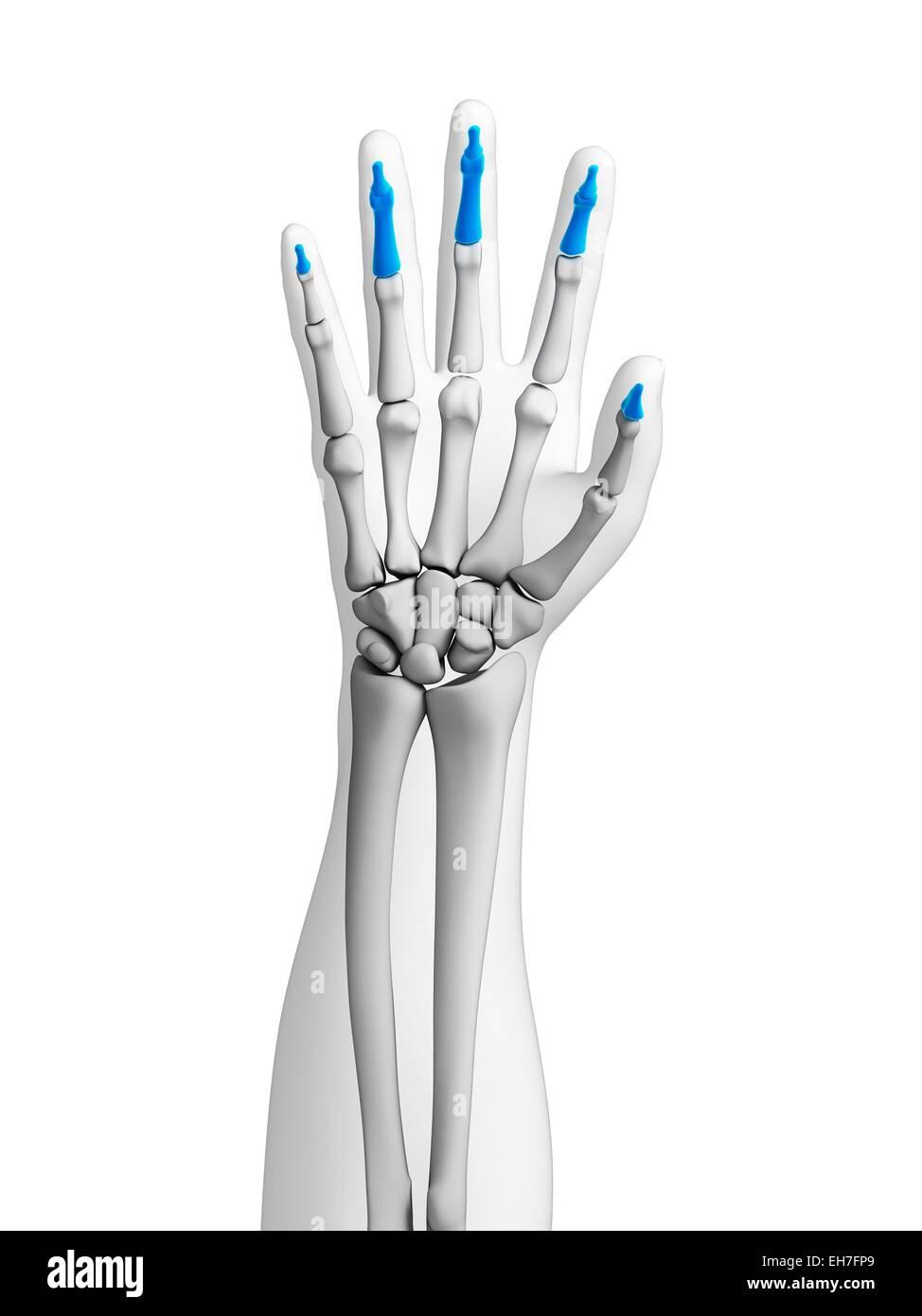 Fein Funktionelle Anatomie Der Hand Ideen - Anatomie Ideen - finotti ...