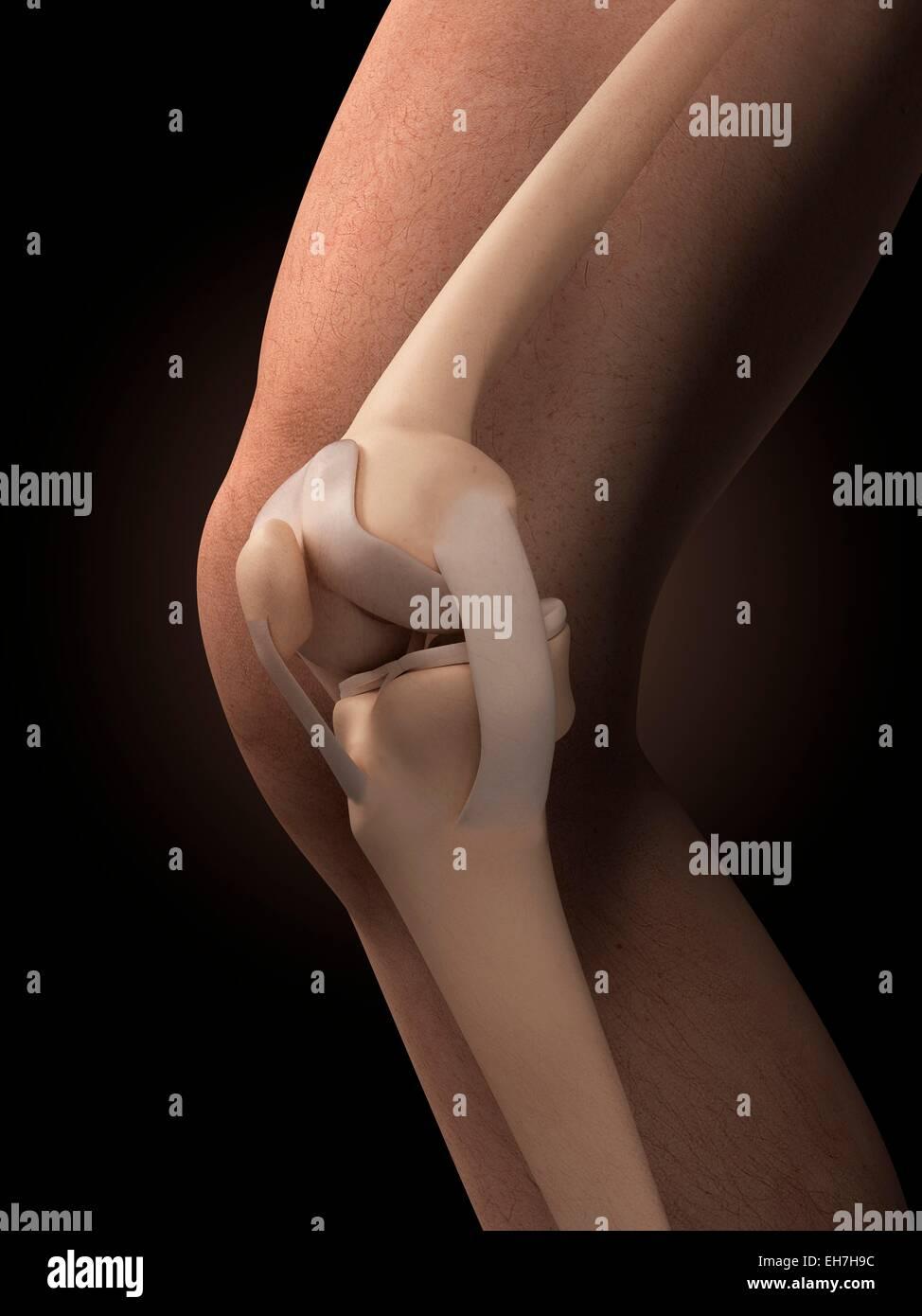 Beste Knie Anatomie Und Physiologie Galerie - Menschliche Anatomie ...