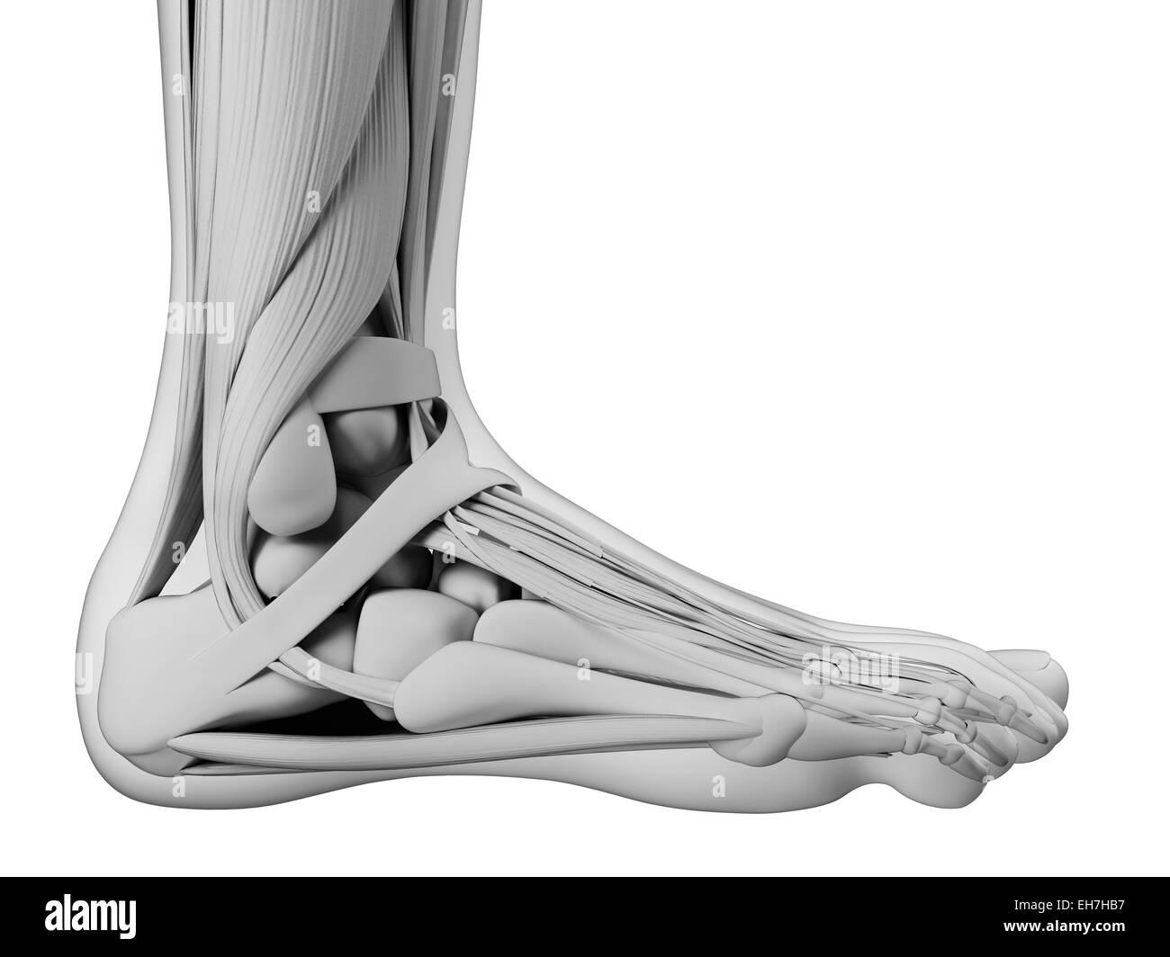 Human Foot Anatomy Computer Artwork Stockfotos & Human Foot Anatomy ...