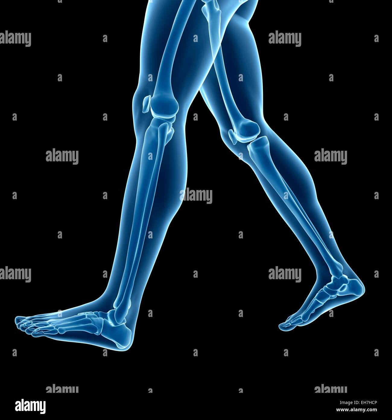 Menschliches Beinknochen, Abbildung Stockfoto, Bild: 79457974 - Alamy