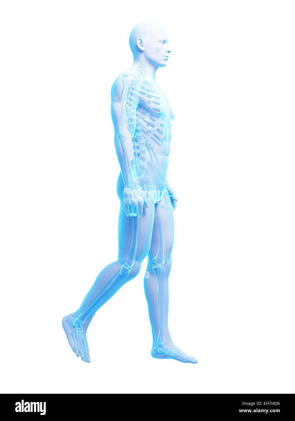 Ungewöhnlich Fuß Skelett System Bilder - Anatomie Von Menschlichen ...