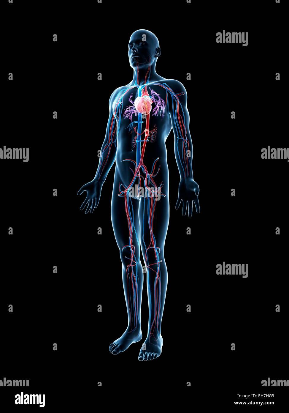Menschliche Gefäßsystem, Abbildung Stockfoto, Bild: 79458069 - Alamy