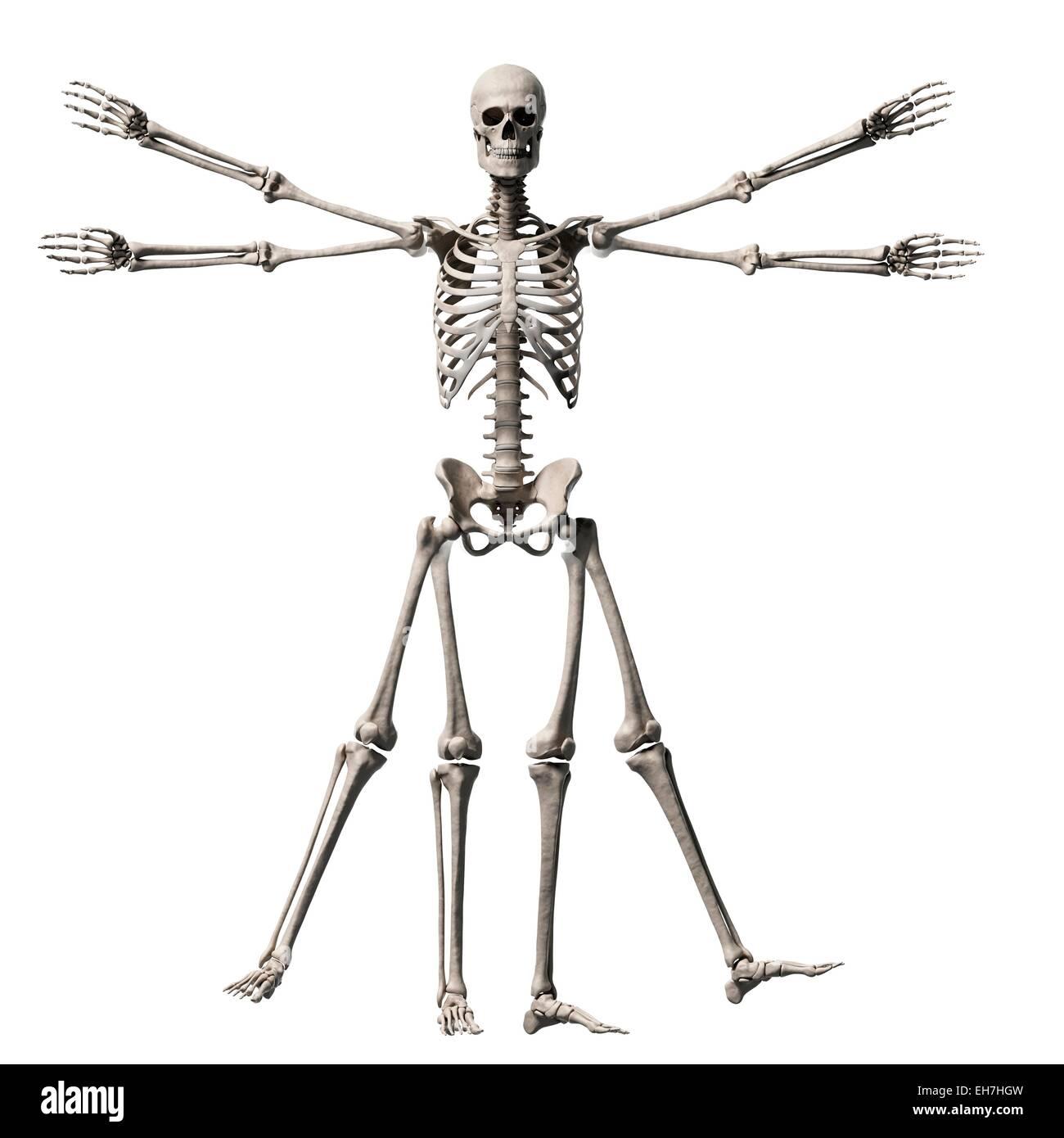 Fein Das Skelett System Zeitgenössisch - Anatomie Ideen - finotti.info