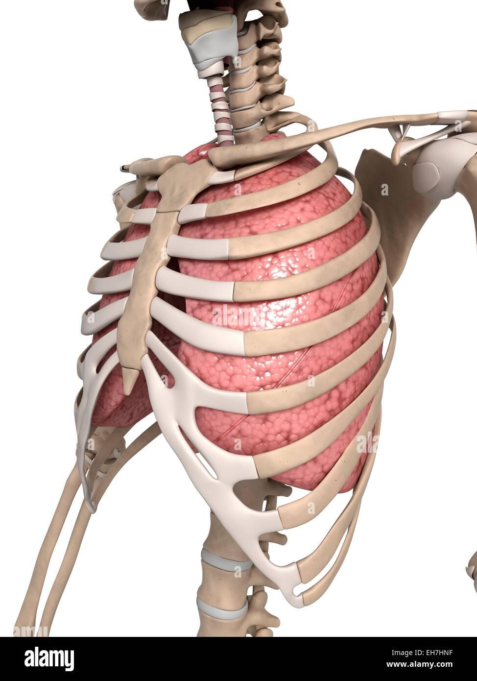 Menschliche Lunge mit Brustkorb, Abbildung Stockfoto, Bild: 79458219 ...