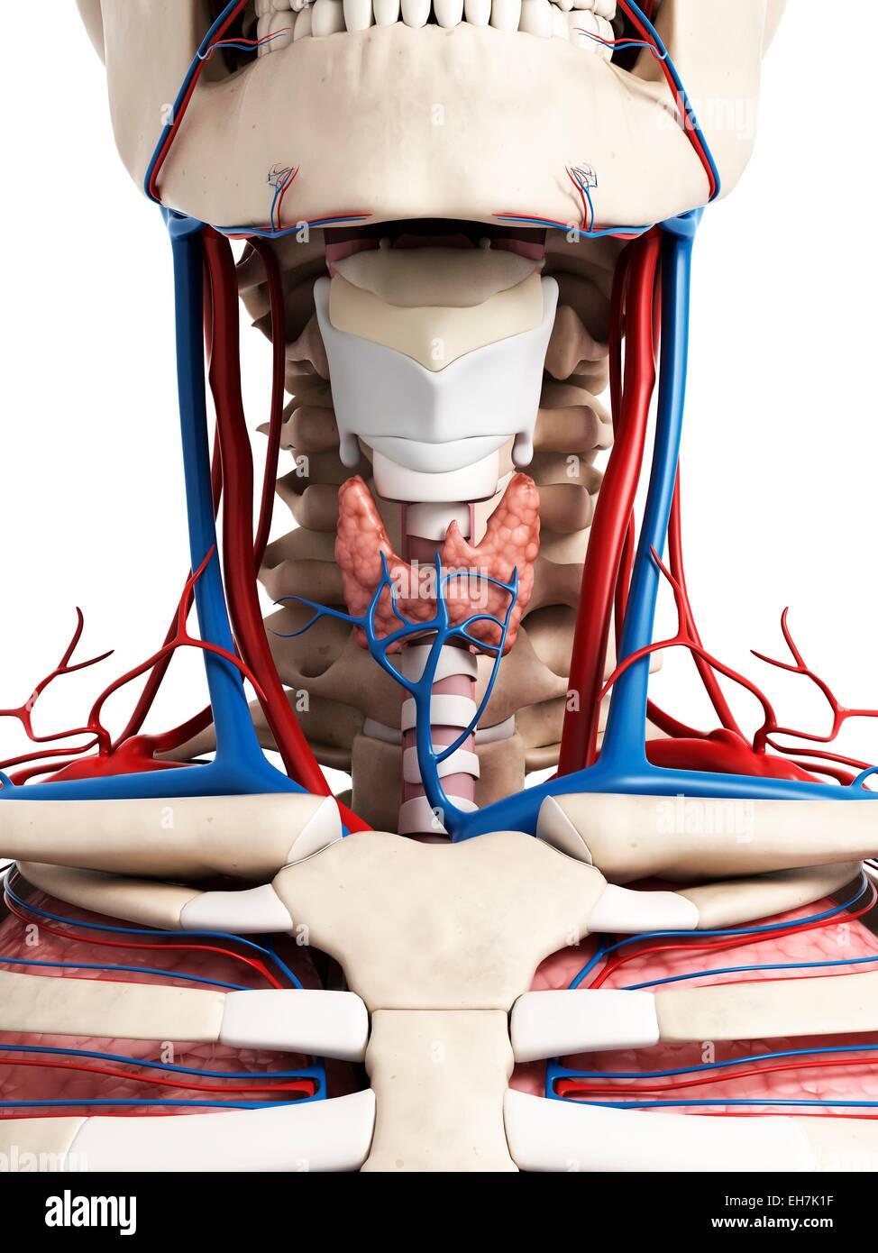 Menschlichen Hals Anatomie, Abbildung Stockfoto, Bild: 79459227 - Alamy