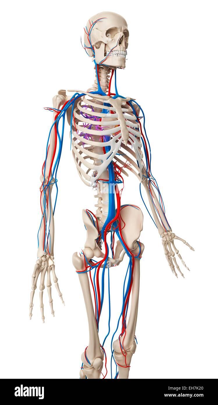 Schön Gefäßsystem Anatomie Fotos - Anatomie Ideen - finotti.info