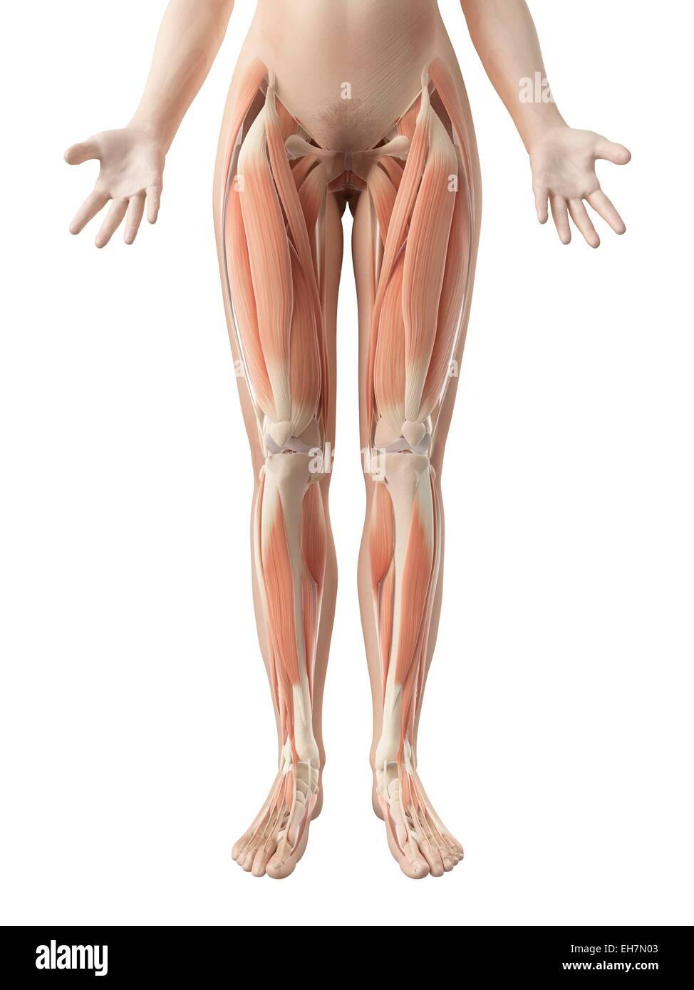 Ausgezeichnet Hintere Beinmuskulatur Bilder - Menschliche Anatomie ...