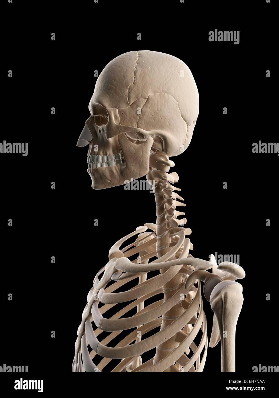 Berühmt Skelett Systeme Galerie - Physiologie Von Menschlichen ...