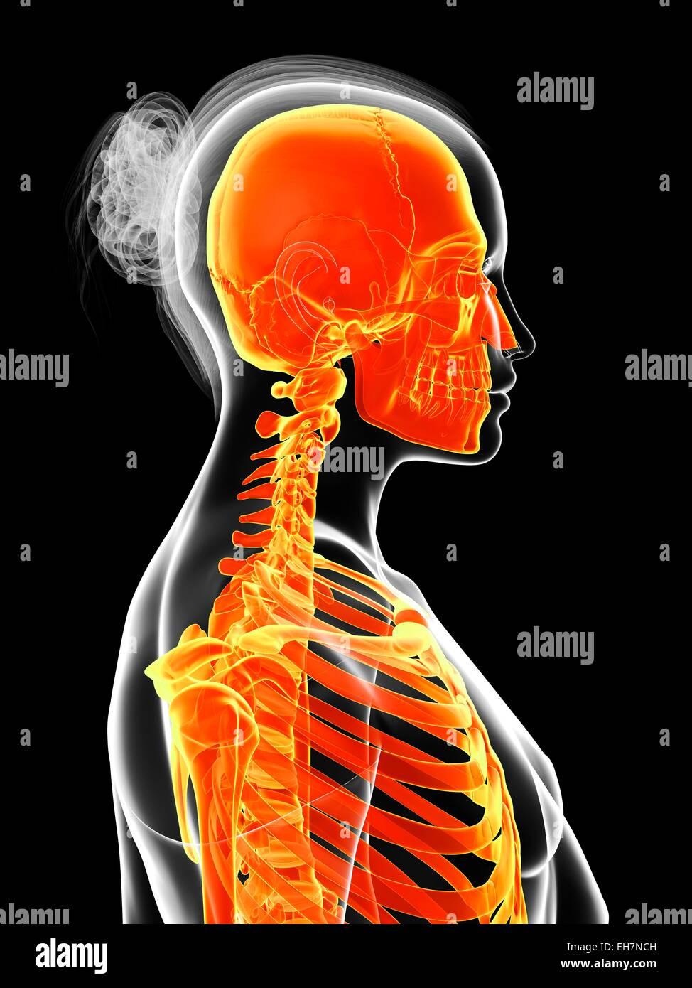 Ausgezeichnet Organe Im Skelettsystem Zeitgenössisch - Menschliche ...