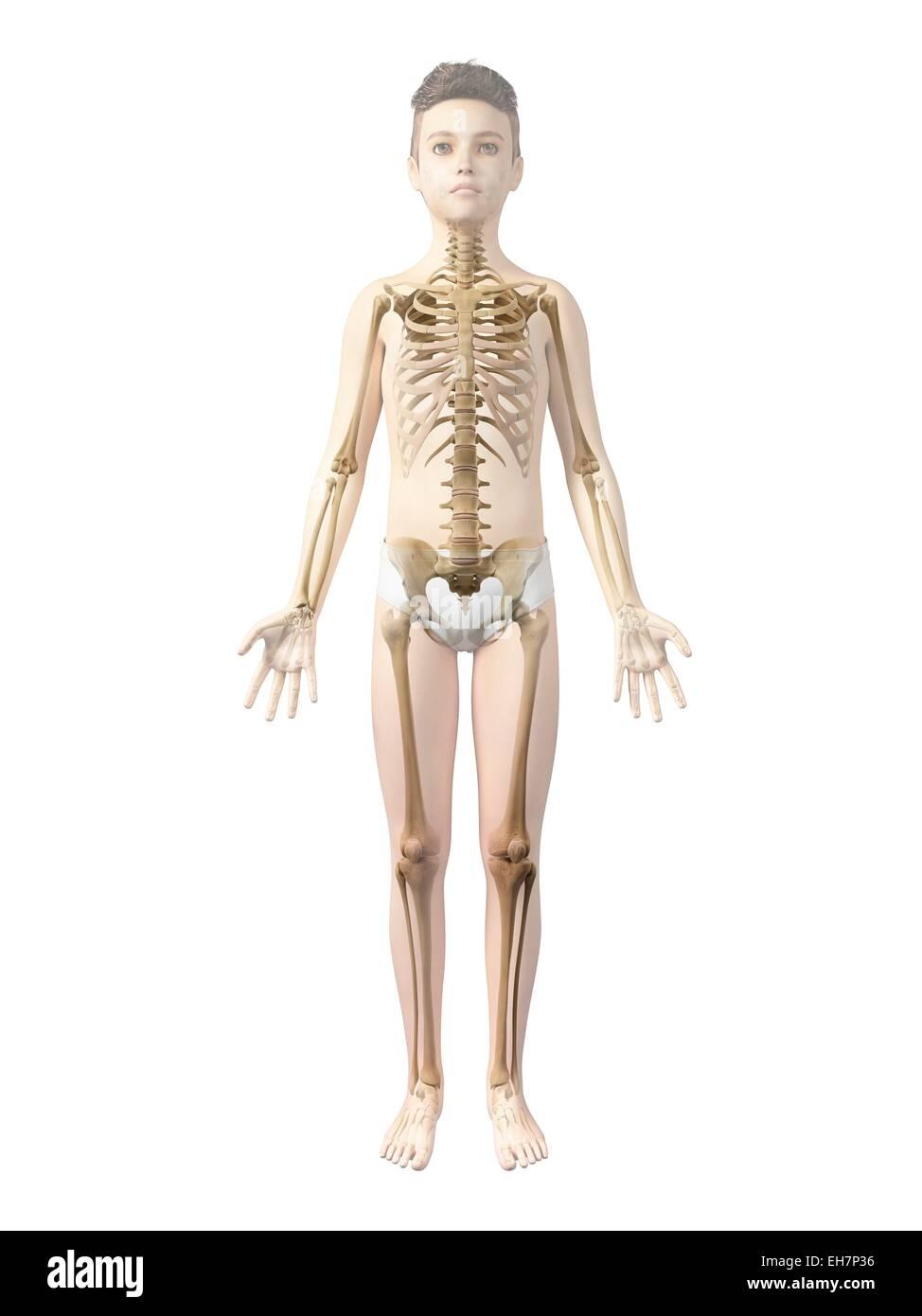 Ausgezeichnet Pic Von Skelett System Galerie - Menschliche Anatomie ...