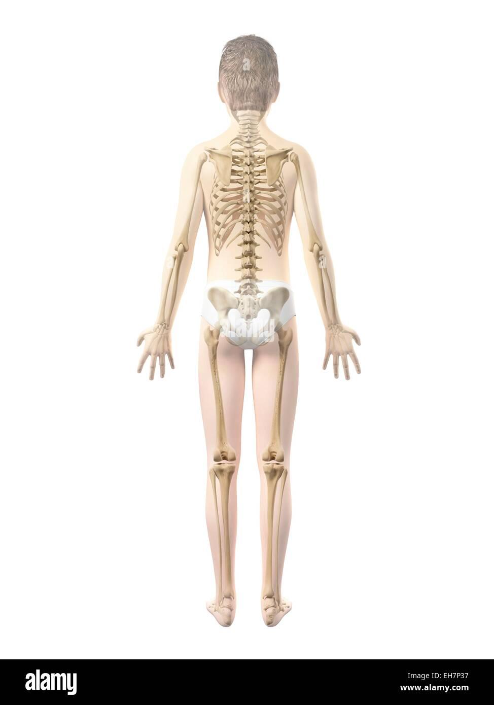 Beste Organe Des Skelettsystems Fotos - Physiologie Von Menschlichen ...