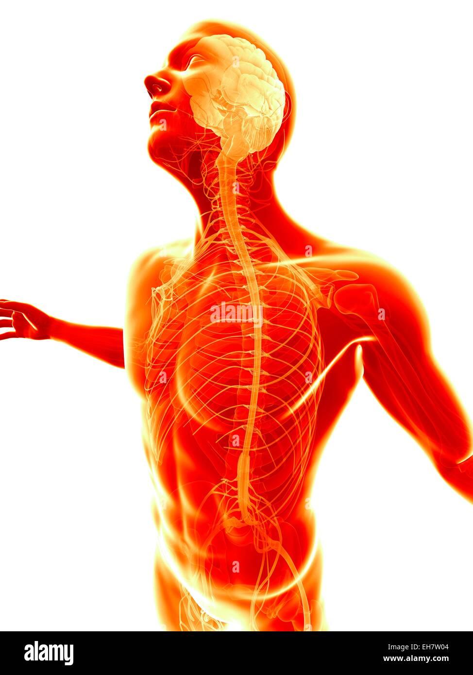 Ausgezeichnet Menschliche Anatomie Und Physiologie Testfragen ...
