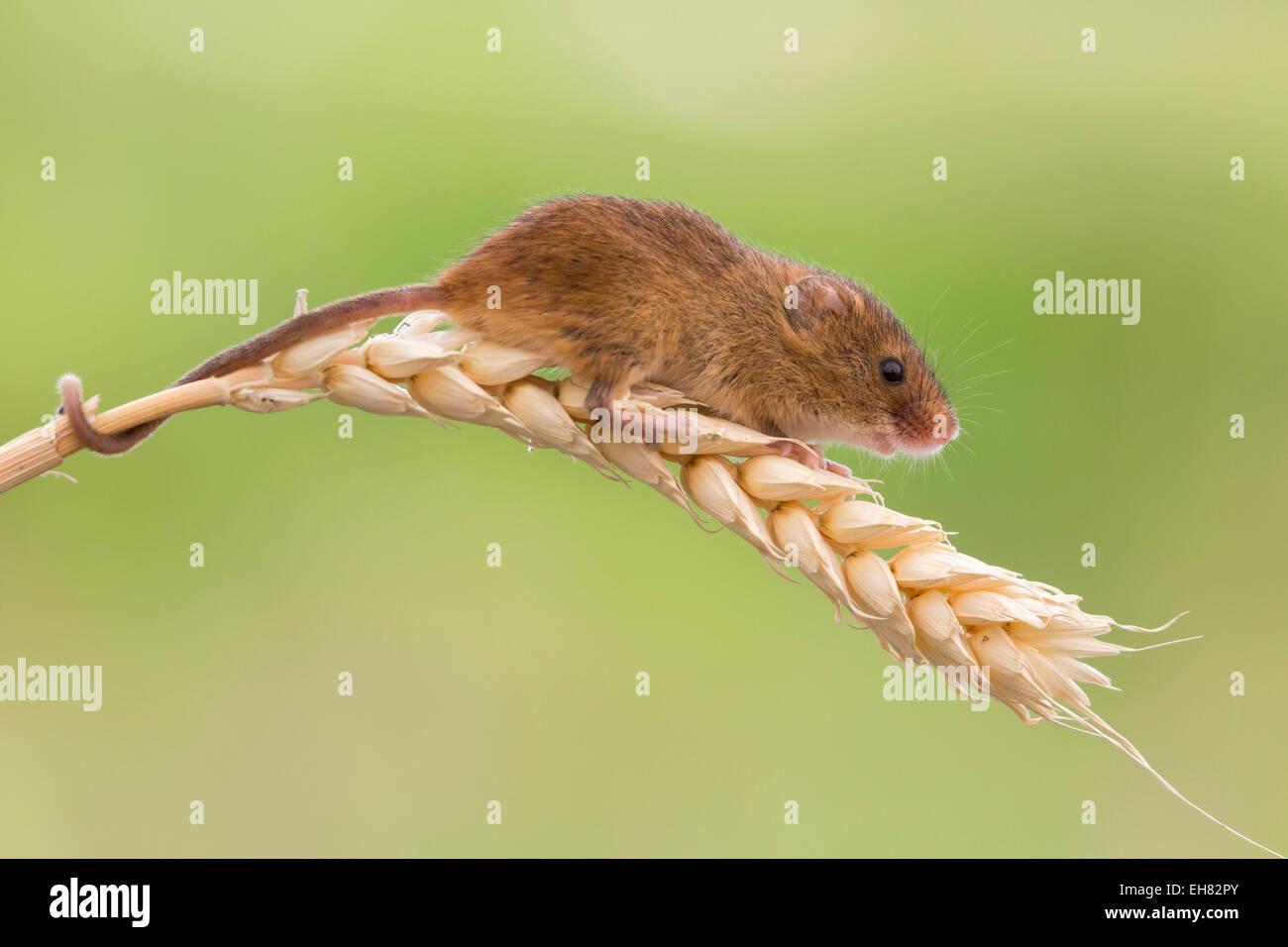 Zwergmaus (Micromys Minutus), in Gefangenschaft, Vereinigtes Königreich, Europa Stockbild