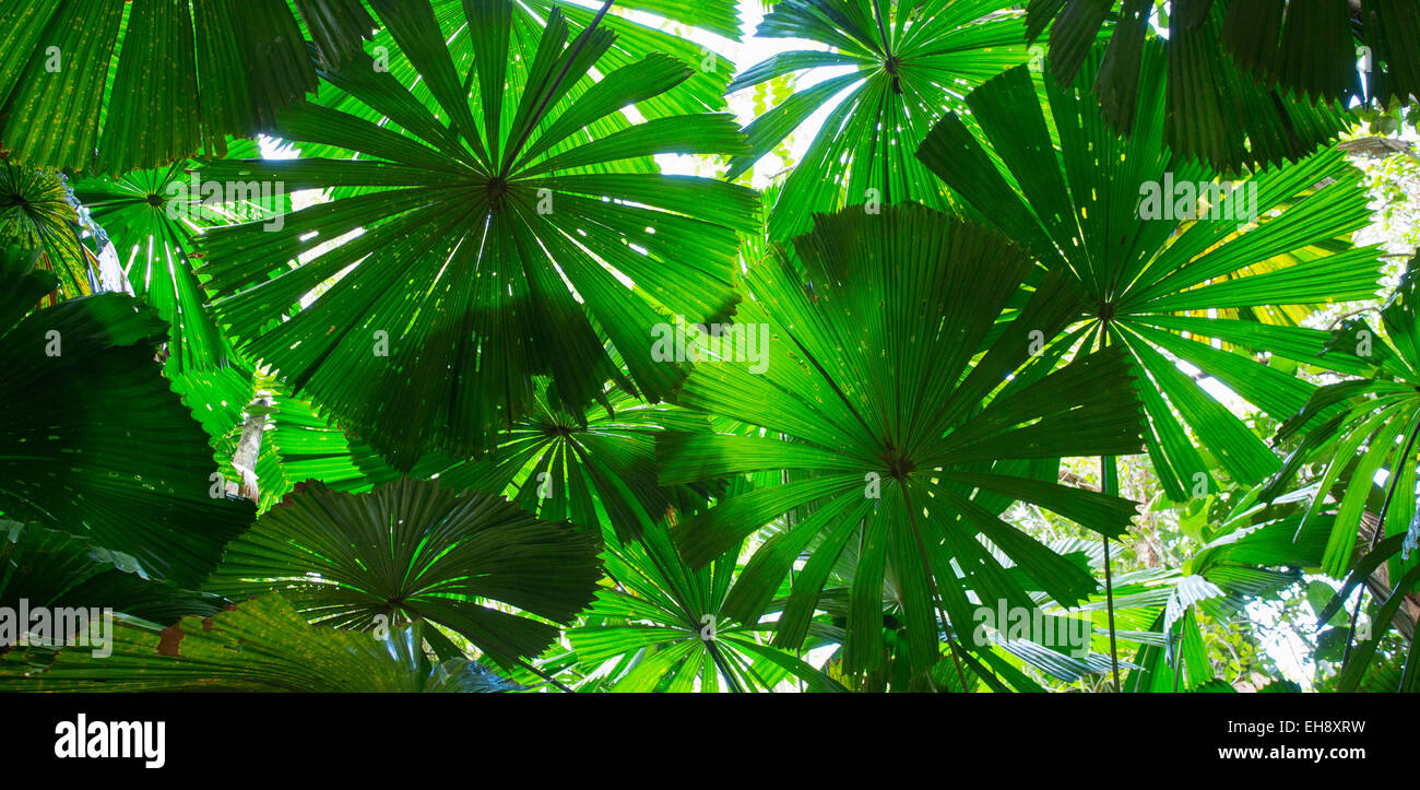 Australische Fan Palmen (Licuala Ramsayi) im Daintree Rainforest, Queensland, Australien Stockbild