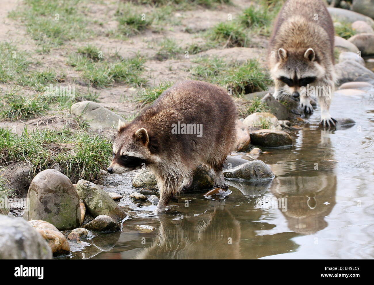 6a98556e6eb19d Zwei nordamerikanischen oder nördliche Waschbären (Procyon Lotor) zu Fuß  entlang eines Baches Stockbild