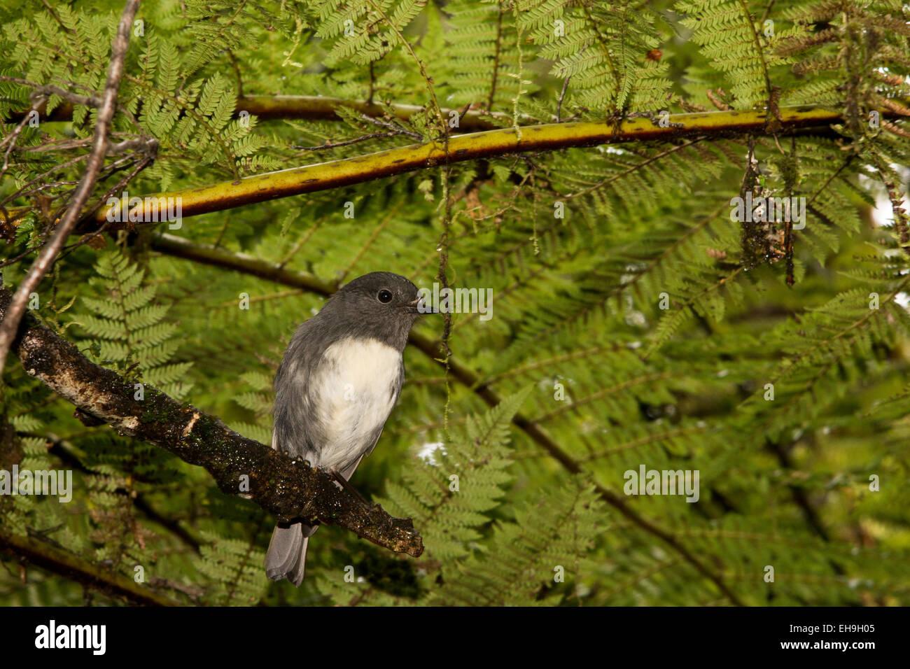 New Zealand Robins sind endemisch in Neuseeland und in natürlichen Wäldern leben.  Langbeinschnäpper Stockbild