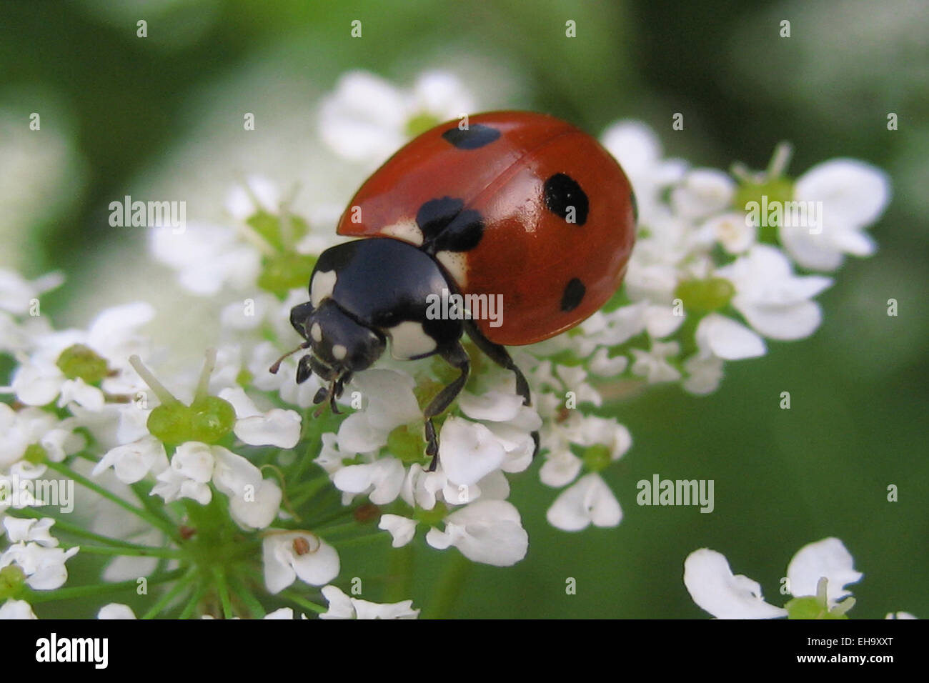 Nahaufnahme Von Marienkäfer Auf Weiße Blume In Der Natur Stockfoto