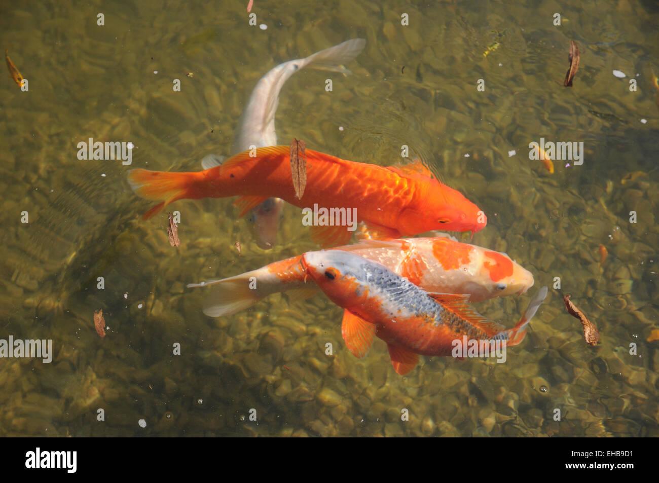 Koi karpfen stockfotos koi karpfen bilder alamy for Was fressen fische im teich