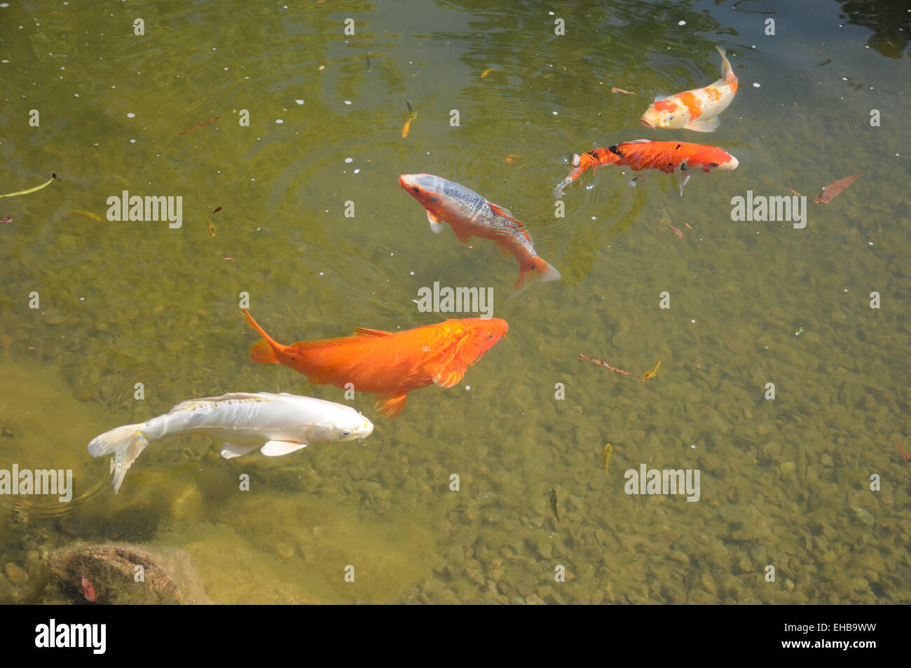 Fischteich stockfotos fischteich bilder alamy for Koi fische im gartenteich