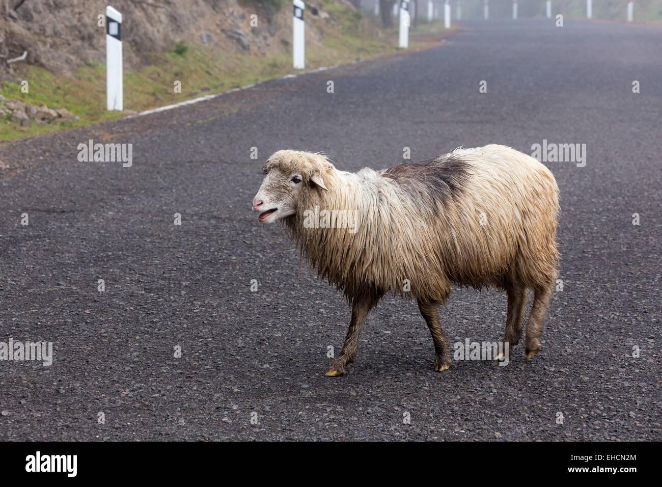 Schafe, die beim Überqueren einer Straße, Gran Canaria, Kanarische Inseln, Spanien Stockfoto