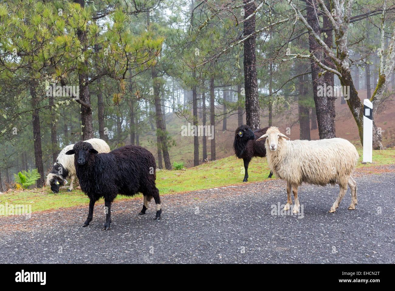 Schafe am Straßenrand, Gran Canaria, Kanarische Inseln, SpanienStockfoto