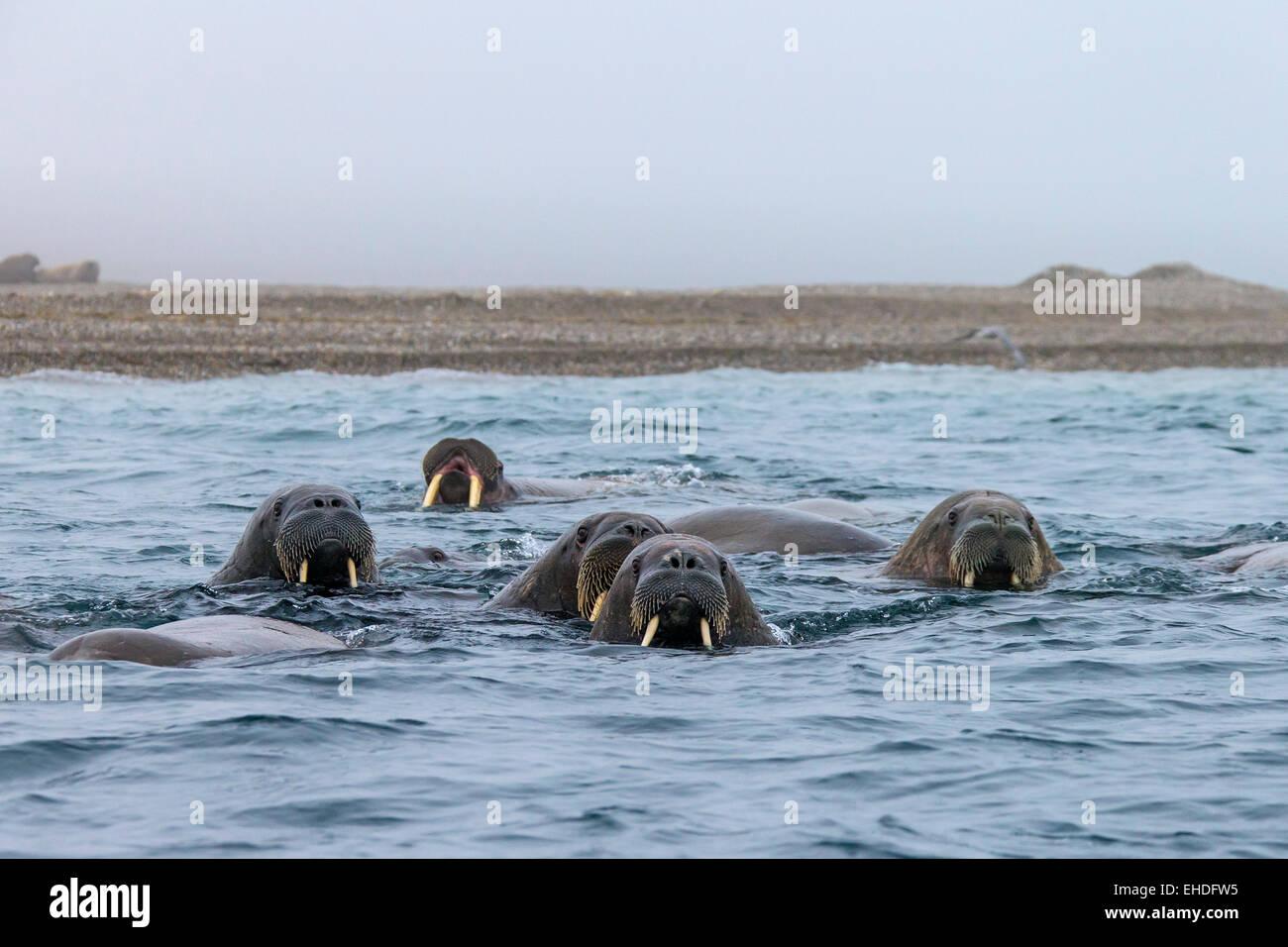 Gruppe von Walrosse (Odobenus Rosmarus) Schwimmen im arktischen Meer, Spitzbergen, Norwegen Stockfoto