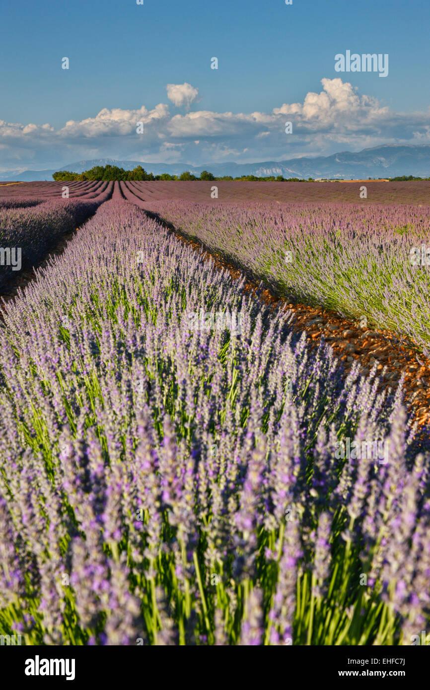 Lavendel-Feld in Frankreich, Provence Stockbild