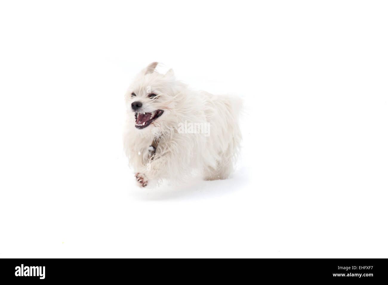 laufender Hund auf weißem Hintergrund Stockfoto