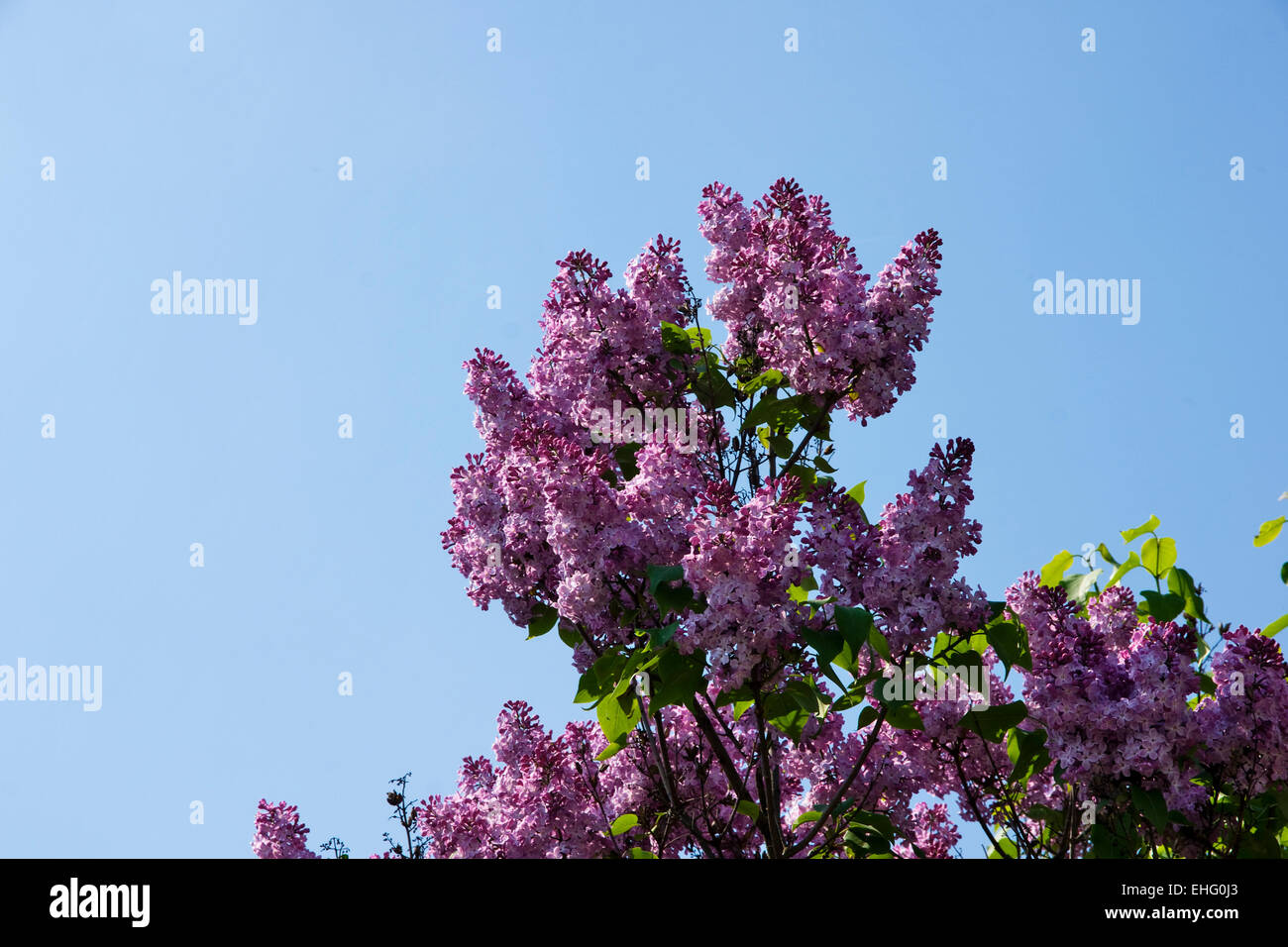 lilac bush blue sky spring stockfotos lilac bush blue. Black Bedroom Furniture Sets. Home Design Ideas