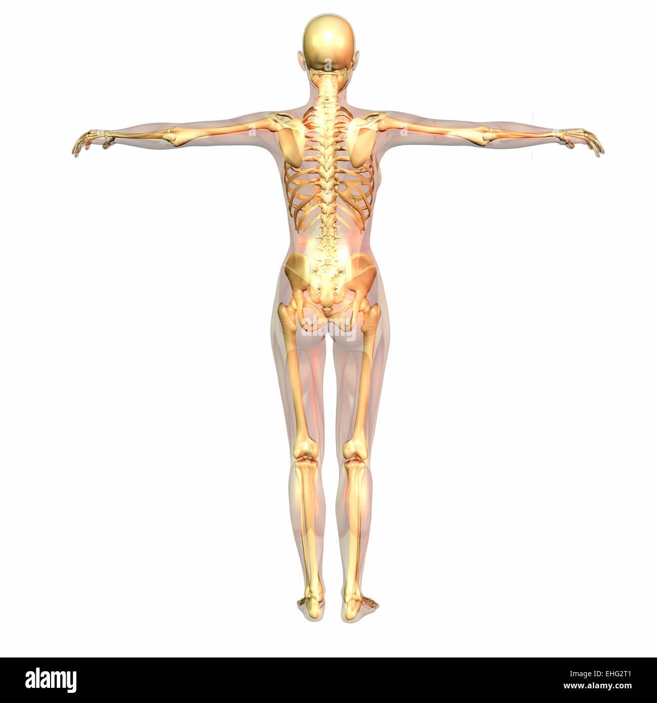 Großartig Wal Skelett Anatomie Ideen - Menschliche Anatomie Bilder ...