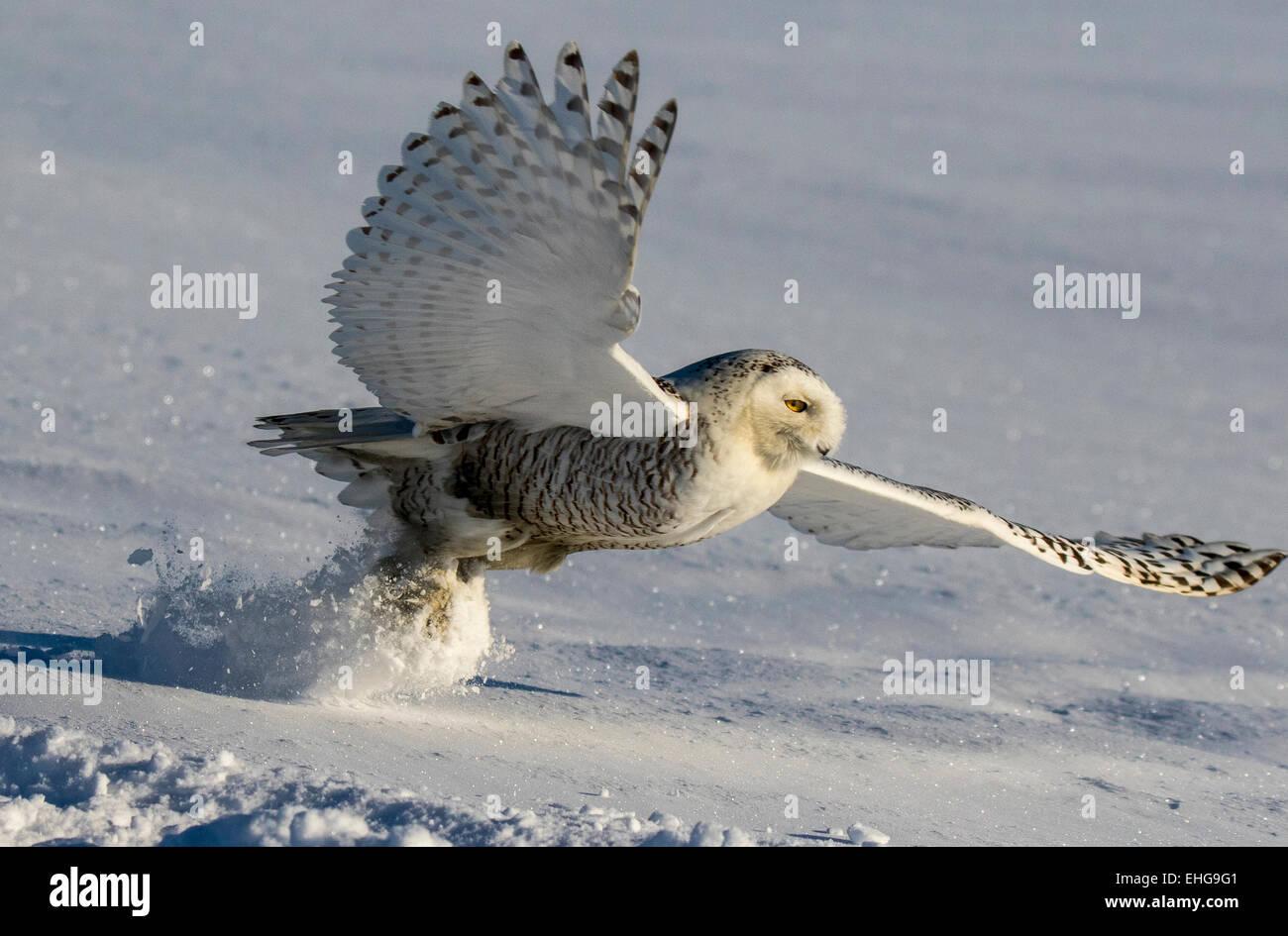 Schnee-eulen Jagen in Kanada, WO SIE FINDEN kleine Lebewesen. Sehr starke GREIFVÖGEL. Stockbild