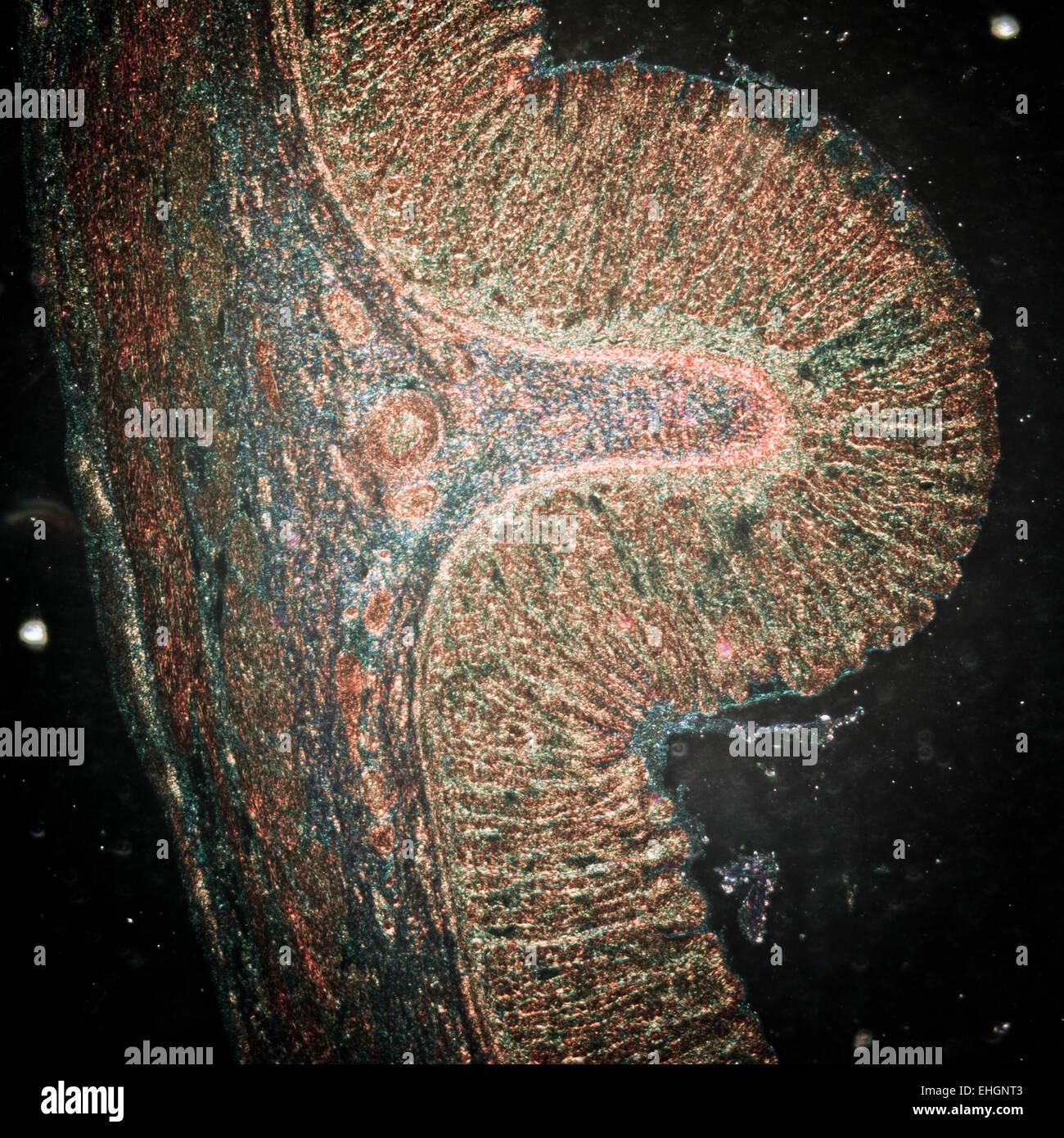 Schliffbild der Magen Gewebe Stockfoto, Bild: 79658995 - Alamy