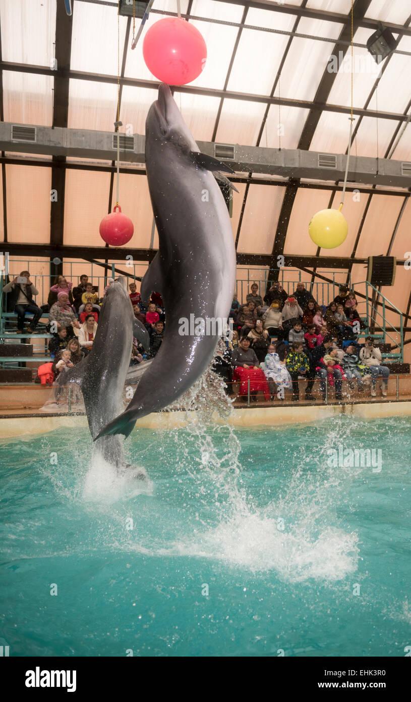 Rostow am Don, Russland - 1. Februar 2015: Delfine kick hängenden Kugeln, das Publikum zu bewundern, was er sah in der Rostov-dolphinariu Stockfoto