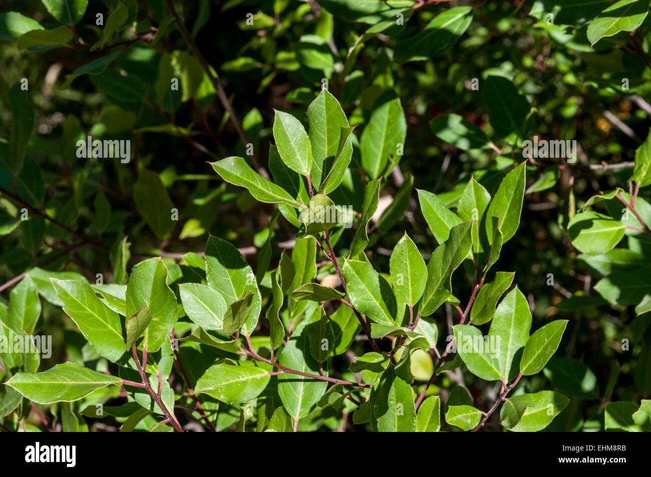 Blätter und Zweige des italienischen Kreuzdorn Rhamnus alaternus Stockfoto