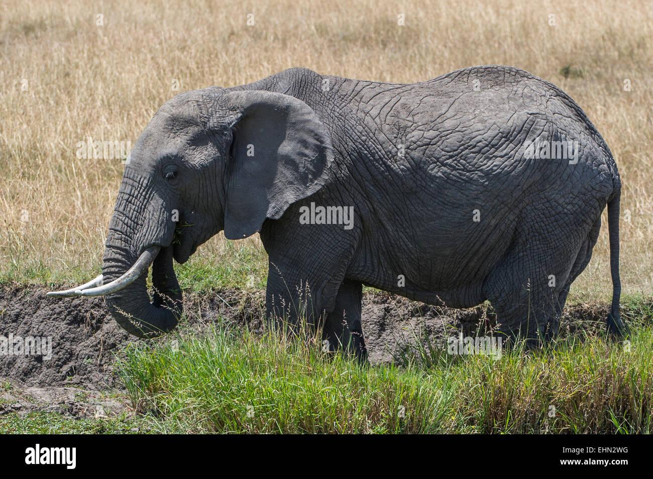 Groß Afrikanische Elefanten Malvorlagen Fotos ...